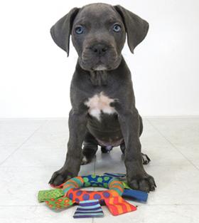 Available Puppies Shipley Cane Corso Cane Corso Puppies And Breeder