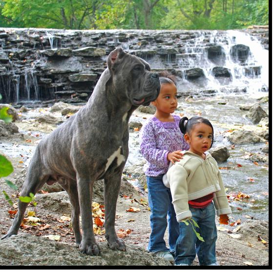 Legend Shipley Cane Corso Cane Corso Puppies And Breeder