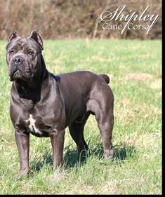 Leo Shipley Cane Corso Cane Corso Puppies And Breeder