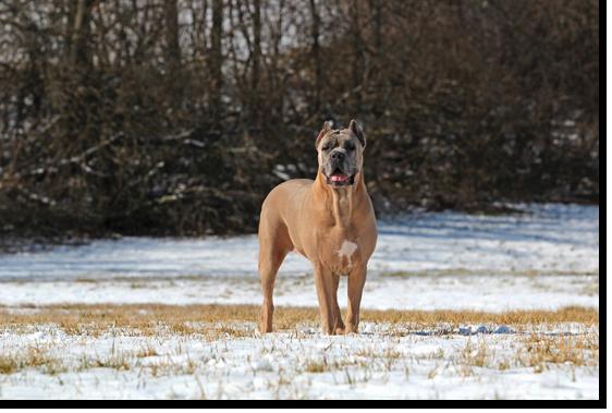 Princess shipley cane corso cane corso puppies and breeder for Princess cane
