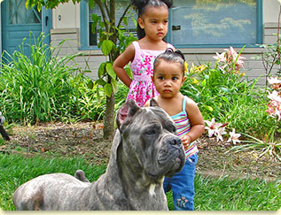 Shipley Cane Corso Cane Corso Puppies And Breeder