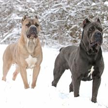 Dog Breeds Like Cane Corso